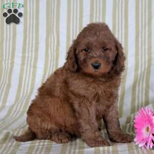 Trista, Mini Goldendoodle Puppy