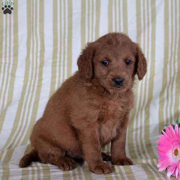 Trudy, Mini Goldendoodle Puppy
