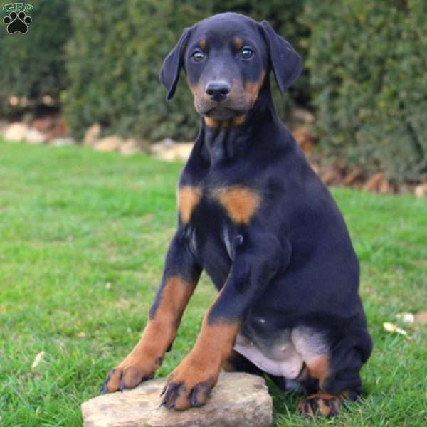 Tulip, Doberman Pinscher Puppy