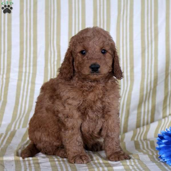 Tyler, Mini Goldendoodle Puppy