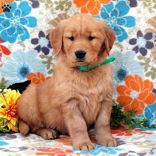 Velvet, Golden Retriever Puppy