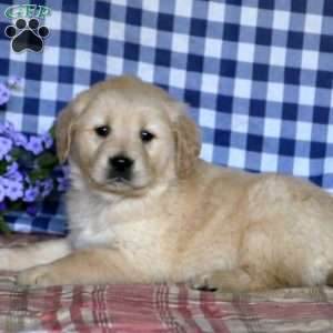 Wilda, Golden Retriever Puppy