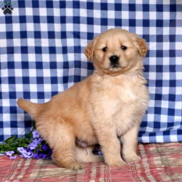 William, Golden Retriever Puppy
