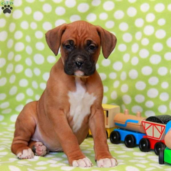 Willow, Boxer Puppy