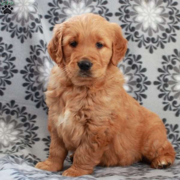 Zoomer, Golden Retriever Puppy