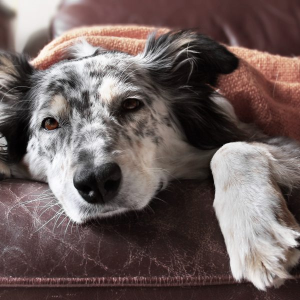 border collie lying under a blanket