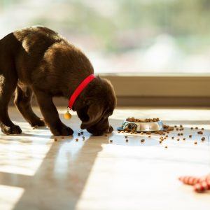chocolate lab puppy eating food