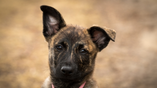 5 Things to Know About Dutch Shepherd Puppies