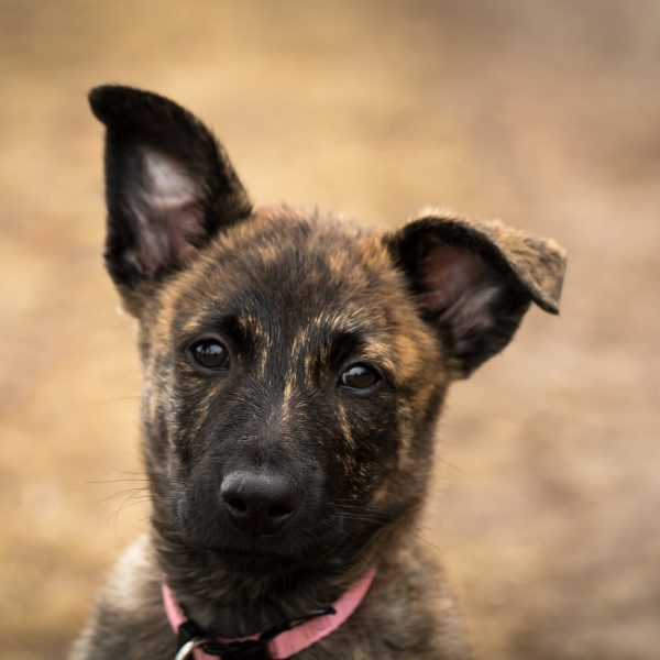 dutch shepherd puppy