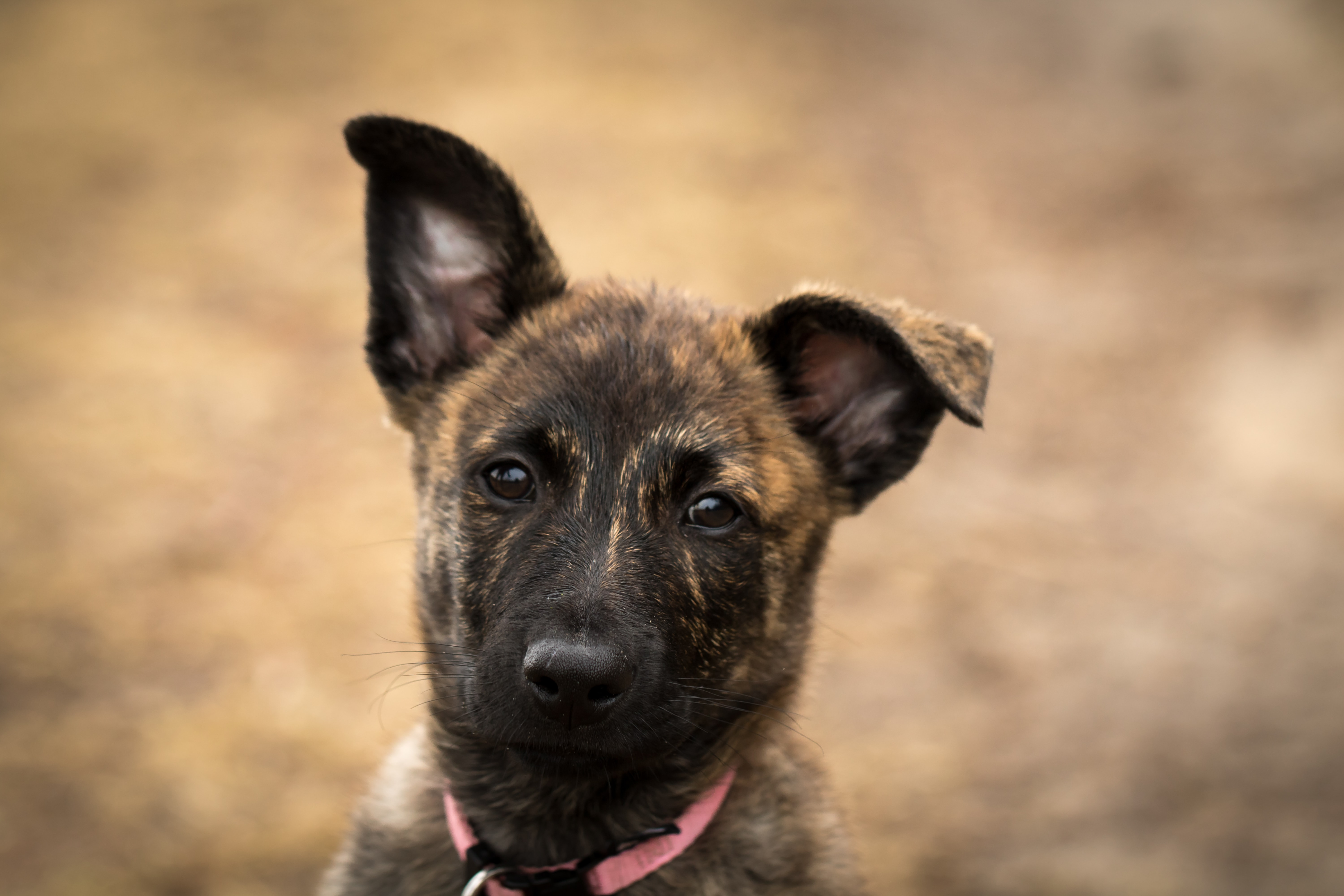The Dutch Shepherd - Loyal and Reliable