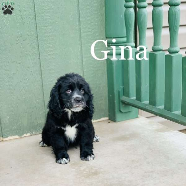Gina, Cocker Spaniel Mix Puppy