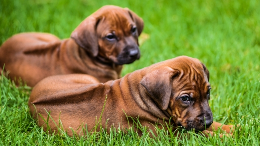 4 Things to Know About Rhodesian Ridgeback Puppies