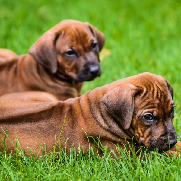 two rhodesian ridgeback puppies in the grass