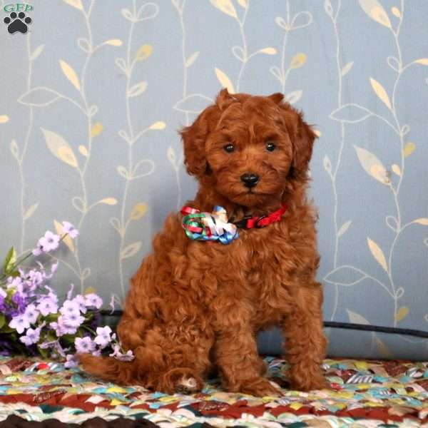 Kayson-F1B, Mini Goldendoodle Puppy