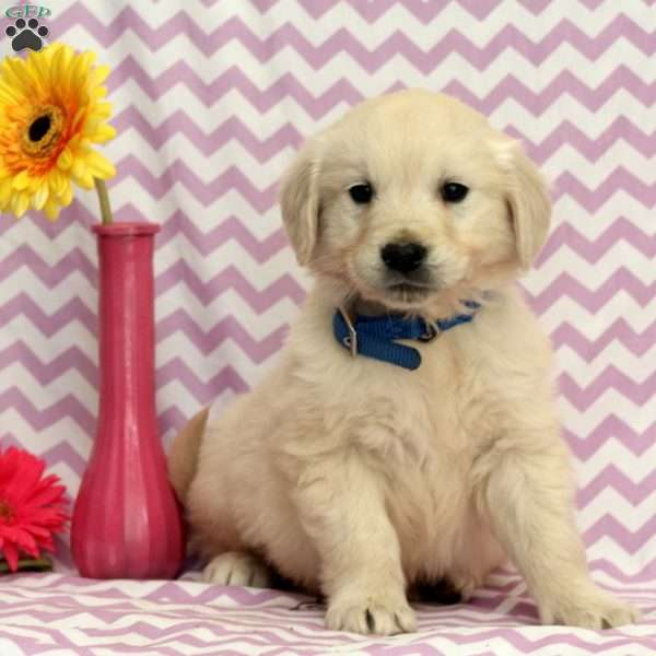 Alister, English Cream Golden Retriever Puppy