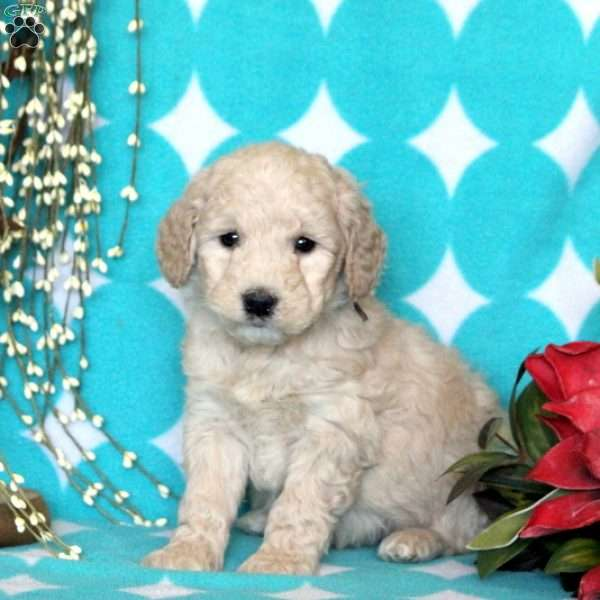 Amos - Mini Goldendoodle Puppy For Sale in Pennsylvania