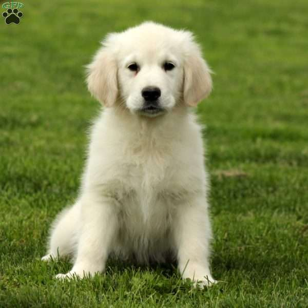 Arthur, English Cream Golden Retriever Puppy