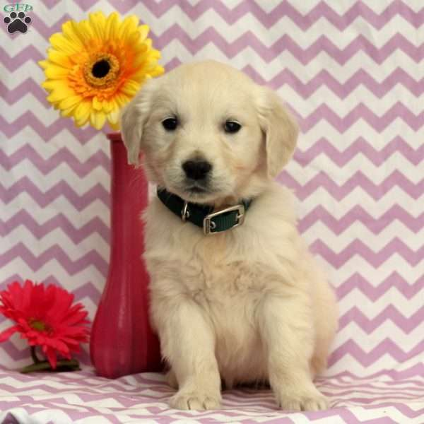 Ava, English Cream Golden Retriever Puppy