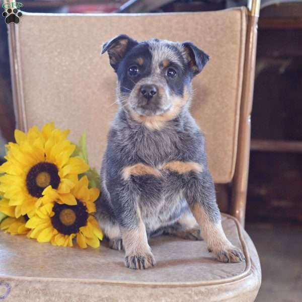 Barbie, Blue Heeler – Australian Cattle Dog Puppy