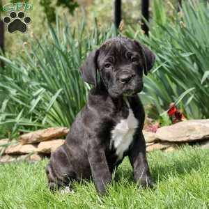 Cane Corso Puppies For Sale Cane Corso Dog Breed Info Greenfield Puppies