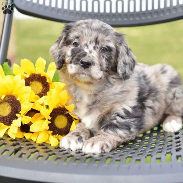 Carl, Miniature Aussiedoodle Puppy
