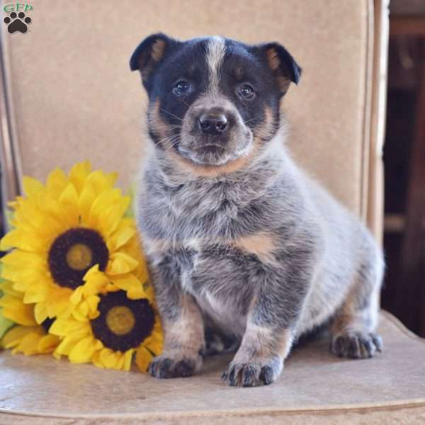 Cathy, Blue Heeler – Australian Cattle Dog Puppy
