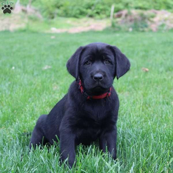 Cindy, Black Labrador Retriever Puppy