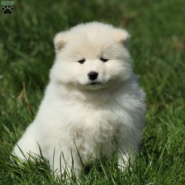 Darcy - Samoyed Puppy For Sale in Pennsylvania
