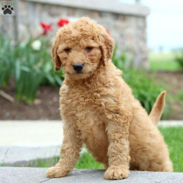 Dawn - Goldendoodle Puppy For Sale in Pennsylvania