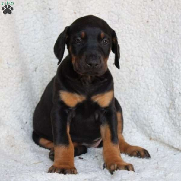 Demi, Doberman Pinscher Puppy