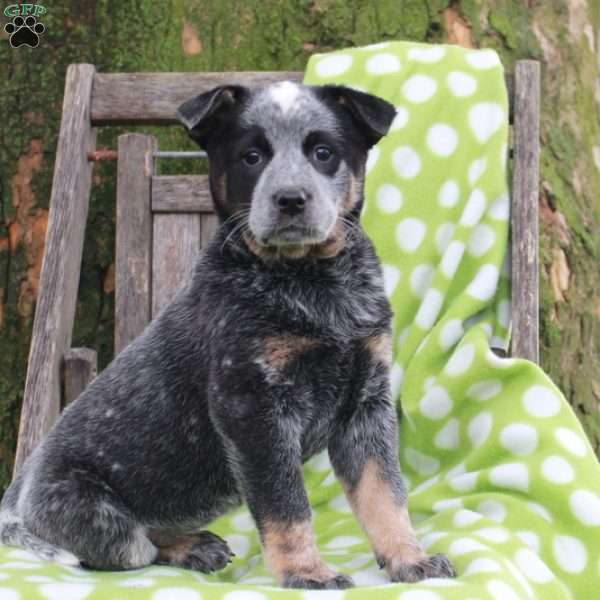 Destiny, Blue Heeler – Australian Cattle Dog Puppy