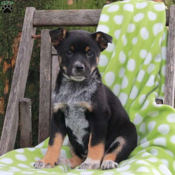 Hank, Blue Heeler – Australian Cattle Dog Puppy