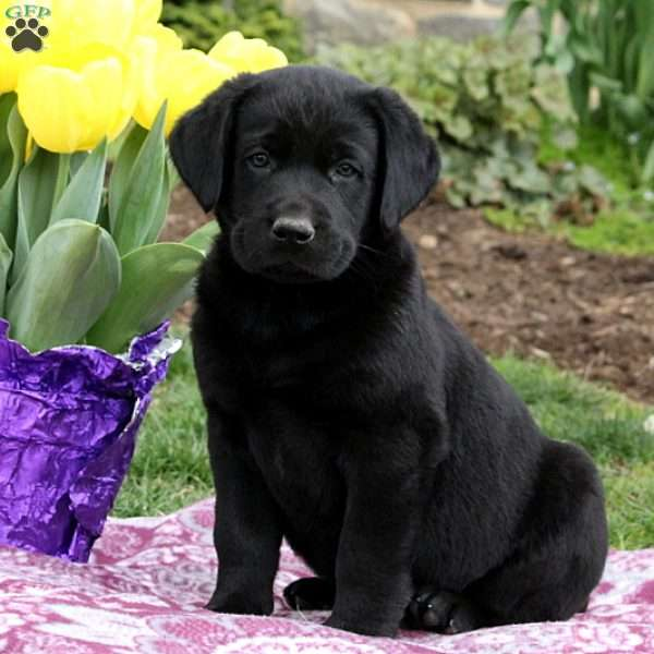 Harley, Black Labrador Retriever Puppy