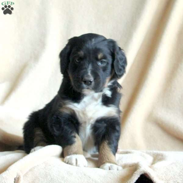 Harvey, Border Collie Mix Puppy