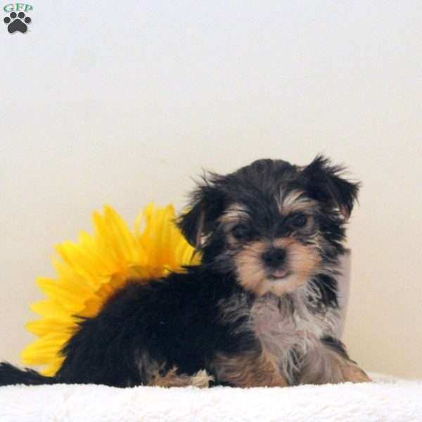 Hercules-Teacup - Morkie / Yorktese Puppy For Sale in