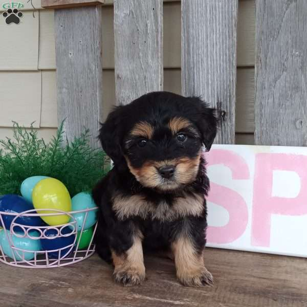 Hope, Miniature Aussiedoodle Puppy