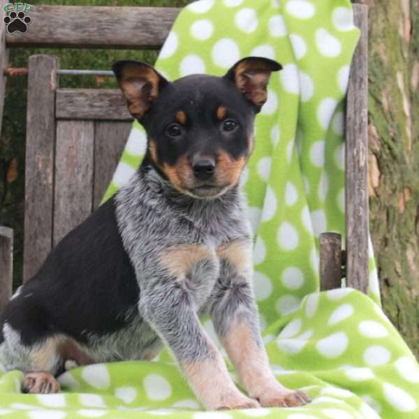 Hopscotch, Blue Heeler – Australian Cattle Dog Puppy