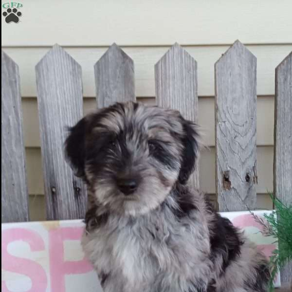 Ollie - Miniature Aussiedoodle Puppy For Sale in Ohio