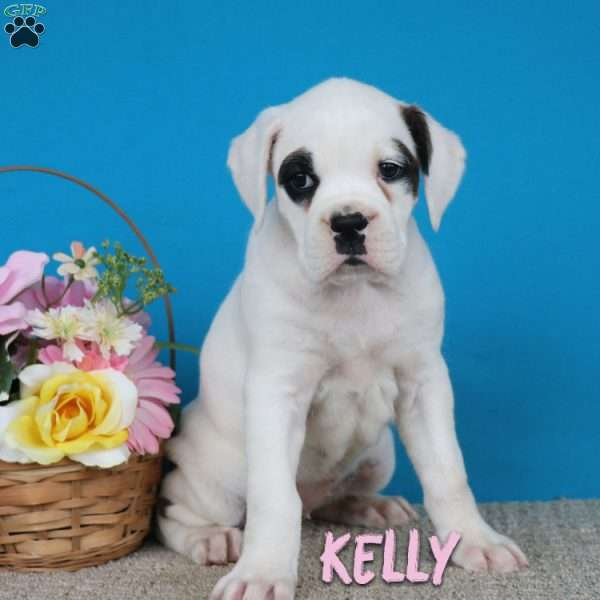 Kelly, Boxer Puppy