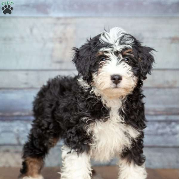 Lance Miniature Aussiedoodle Puppy For Sale In Michigan