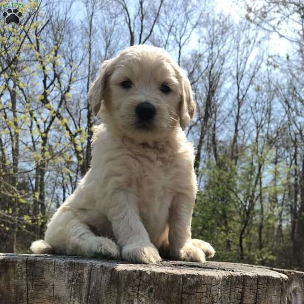 Leroy Standard Double Doodle Puppy For Sale In New Jersey
