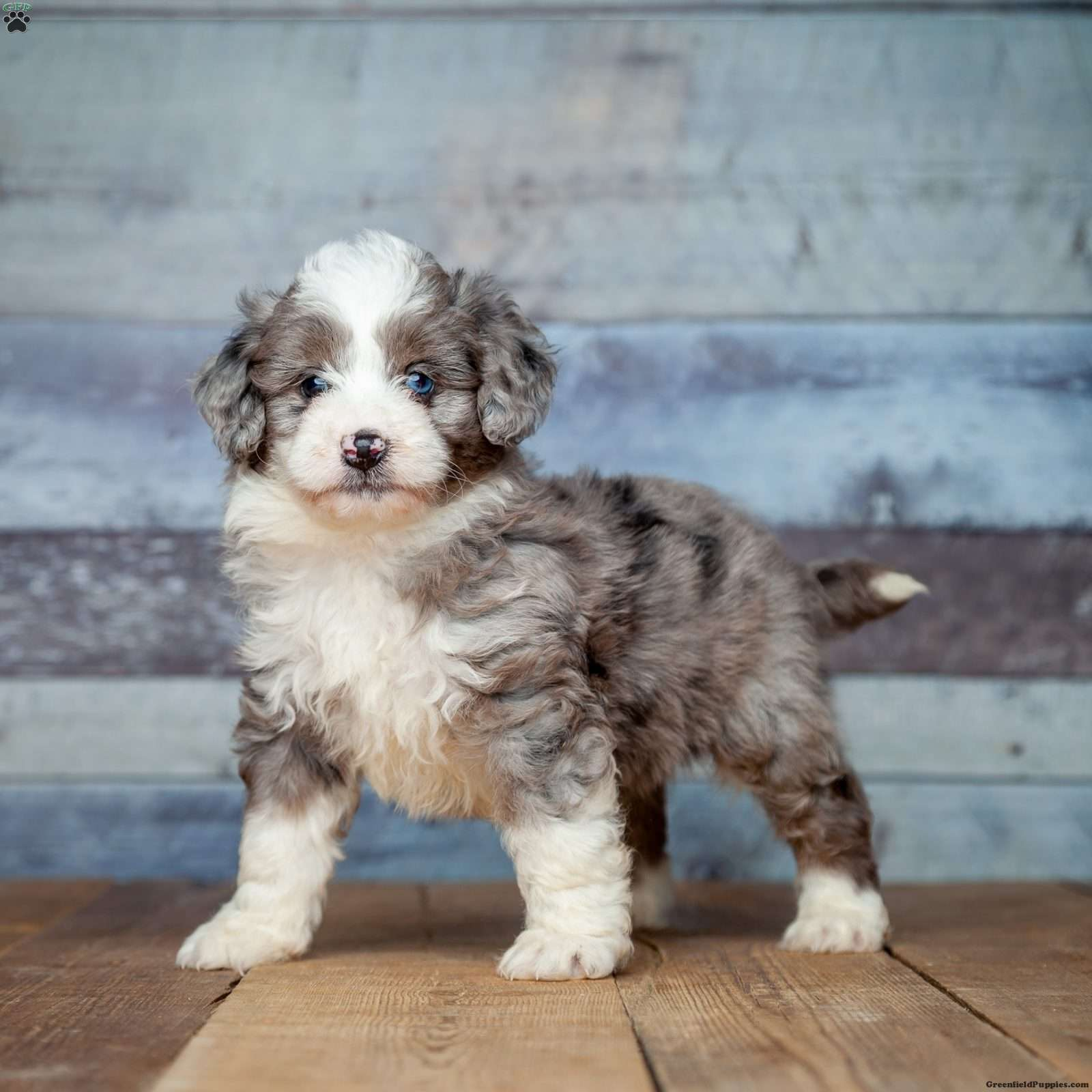 Liam - Miniature Aussiedoodle Puppy For Sale in Michigan