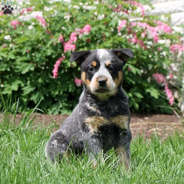 Lily, Blue Heeler – Australian Cattle Dog Puppy