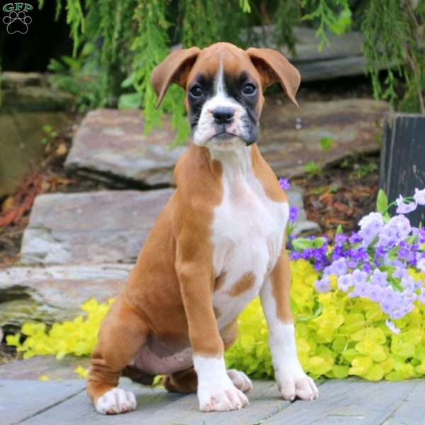 Lucy, Boxer Puppy
