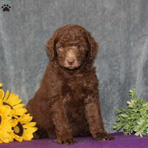 Marsha - Standard Poodle Puppy For Sale in Maryland