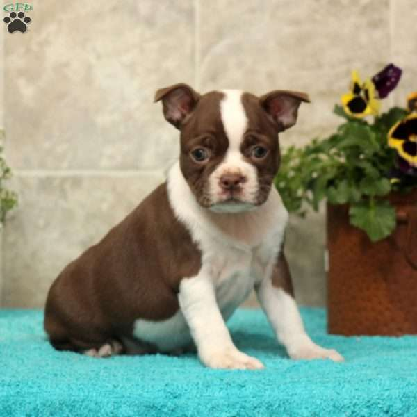 Pansy, Boston Terrier Puppy