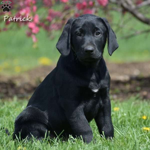 Patrick, Black Labrador Retriever Puppy