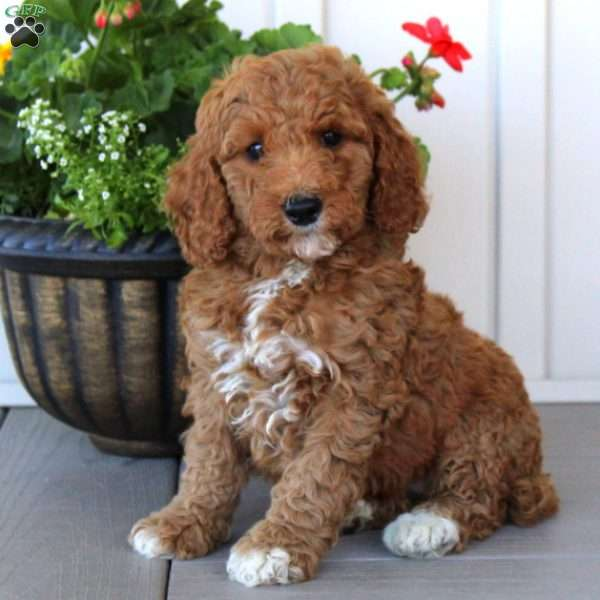 Pip Moyen Miniature Poodle Puppy For Sale In Pennsylvania