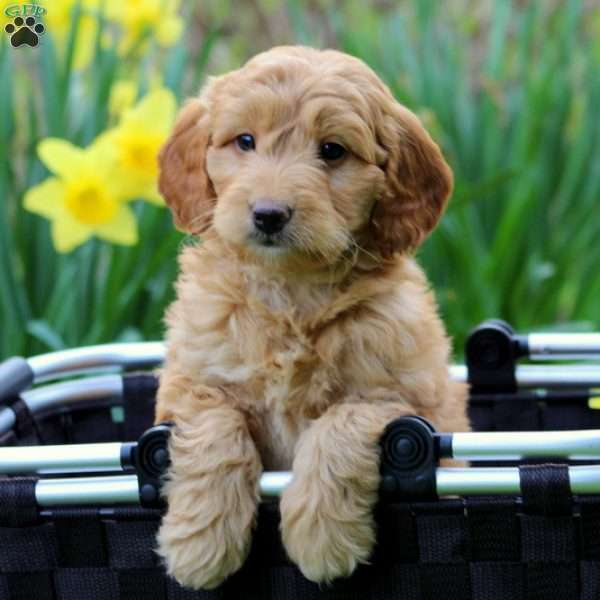 Mini Goldendoodles For Sale In Iowa