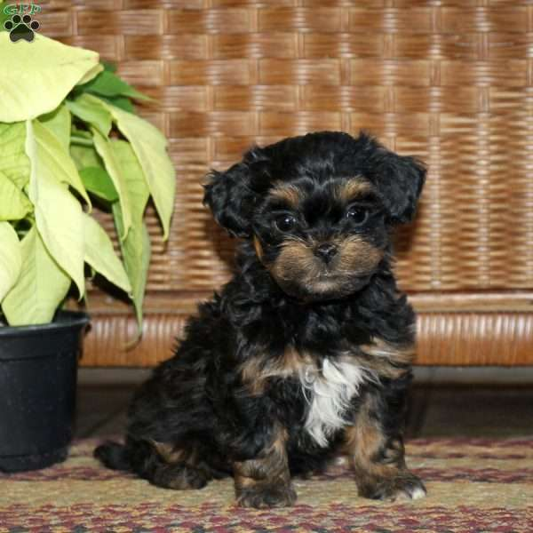 Rory, Shih-Poo Puppy